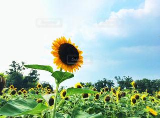ひまわりと夏の空の写真・画像素材[2329926]