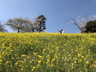 菜の花畑の写真・画像素材[2103831]