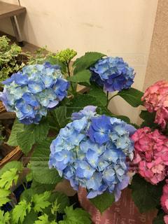 No.508561 紫陽花