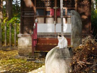神社でほっこり三毛猫の写真・画像素材[898667]