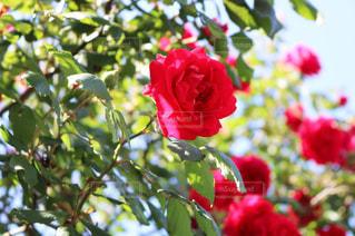花の写真・画像素材[503833]