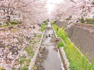 小川沿いの桜と菜の花の写真・画像素材[1005822]