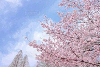 桜ふんわりver.の写真・画像素材[1074612]