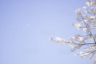 桜と月の写真・画像素材[1086426]