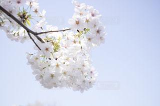 桜と青空の写真・画像素材[1086427]