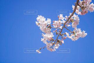 青い空と白な桜の写真・画像素材[1086428]