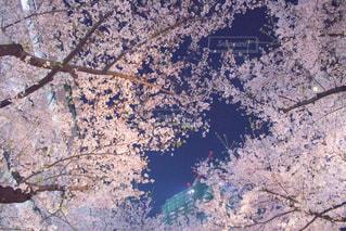夜空と桜の写真・画像素材[1105418]