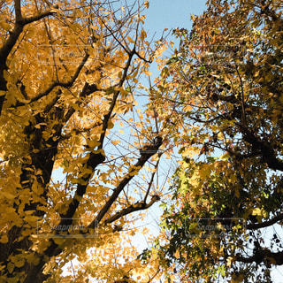 イチョウの黄葉の写真・画像素材[1647788]