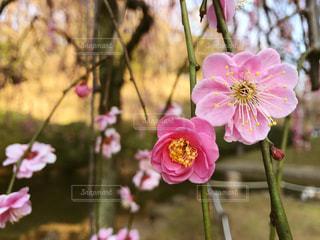 梅の花 - No.869943