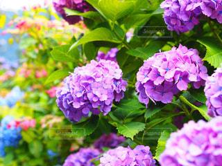 紫陽花の写真・画像素材[504785]