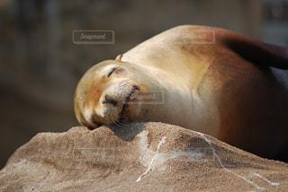 動物園で昼寝するアザラシの写真・画像素材[2236652]