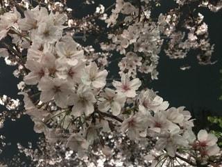 夜桜の写真・画像素材[2018910]