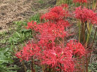 植物の赤い花の写真・画像素材[758866]
