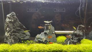 熱帯魚の写真・画像素材[509928]