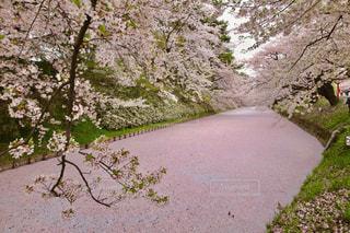 No.507252 桜