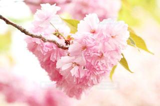 No.507583 桜