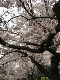No.507760 桜