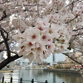 花の写真・画像素材[523773]