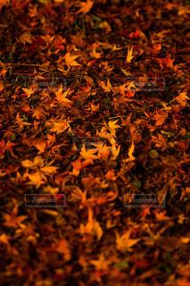 紅葉のじゅうたんの写真・画像素材[885478]
