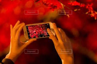 スマホの画面越しの紅葉の写真・画像素材[885486]