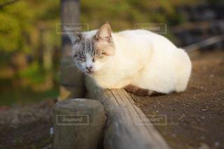 眠そうなネコの写真・画像素材[1080650]