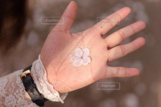 てのひらに桜の写真・画像素材[2065184]