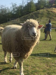 羊の写真・画像素材[512376]