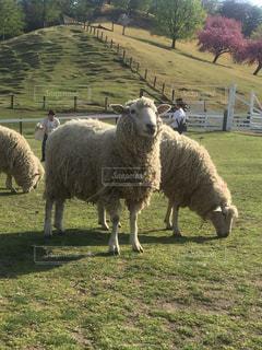 羊の写真・画像素材[512387]