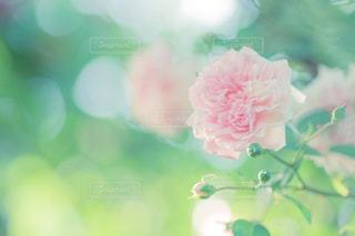 花の写真・画像素材[520214]