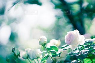 花の写真・画像素材[520232]