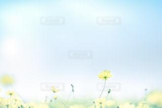 コスモス畑での写真・画像素材[790357]