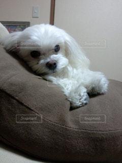 愛犬のキメ顔の写真・画像素材[743714]