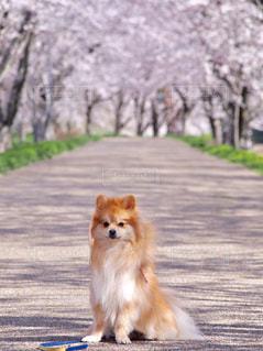 桜と愛犬の写真・画像素材[3107202]