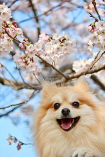 桜と愛犬の写真・画像素材[3107205]