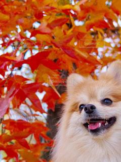 紅葉と愛犬の写真・画像素材[3107203]