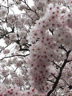 No.507999 桜