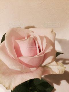ピンクの写真・画像素材[510458]