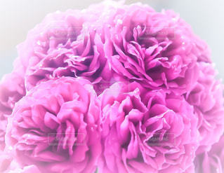 ピンクの写真・画像素材[509440]