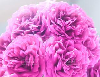 ピンクの写真・画像素材[509441]