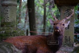 カメラを見ている鹿の写真・画像素材[2778042]