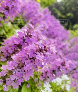 紫色の花のクローズアップの写真・画像素材[4452055]
