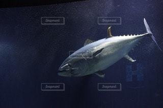 魚の写真・画像素材[47427]