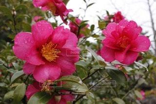 花の写真・画像素材[54380]