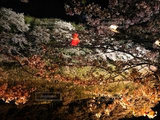 夜の桜の写真・画像素材[1002663]