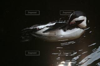 ペンギンの写真・画像素材[511763]
