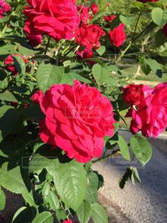 薔薇の写真・画像素材[521264]