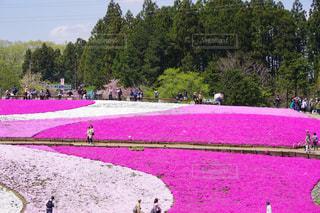 ピンクの写真・画像素材[545259]