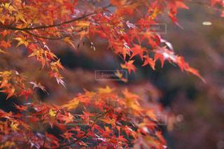 真っ赤に色づいたモミジの写真・画像素材[2751261]