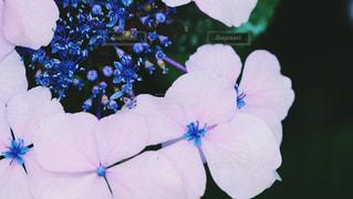 真上から紫陽花の写真・画像素材[1259991]