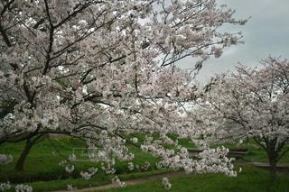 桜の写真・画像素材[512944]